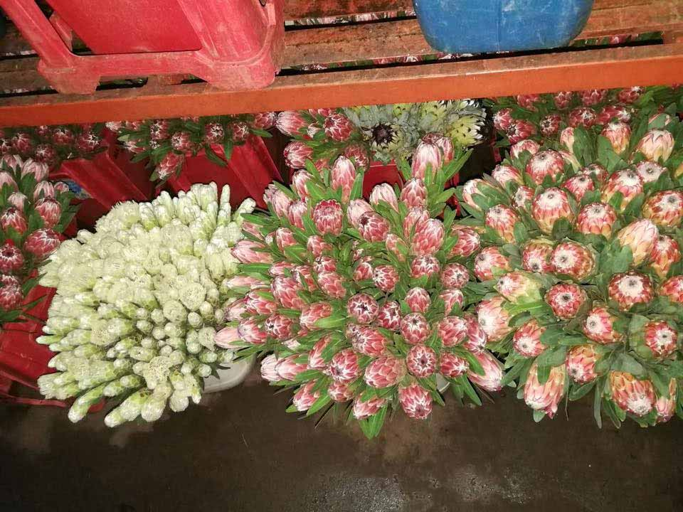 protea cullifest